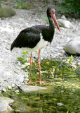 1 svarta stork royaltyfri fotografi