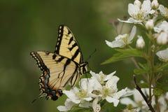 1 swallowtailtiger Fotografering för Bildbyråer
