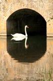 1 swan arkivbilder