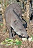 1 tapir Стоковое Изображение