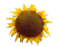 1 temat słonecznikowy Obraz Royalty Free