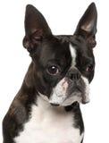 1 terrier boston близкий старый вверх по году Стоковое Изображение
