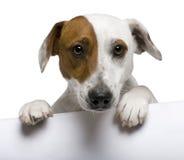 1 terrier russell близкого jack старый вверх по году Стоковая Фотография