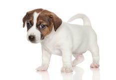 1 terrier russell щенка месяца jack старый Стоковое Фото
