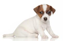 1 terrier russell щенка месяца jack Стоковые Фотографии RF