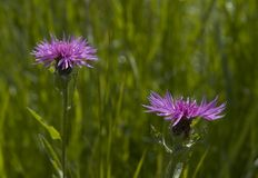 1 thistle цветка стоковая фотография rf