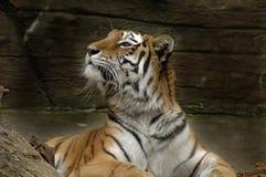 1 tiger Arkivfoton
