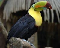 1 toucan fakturerade köl Royaltyfri Bild