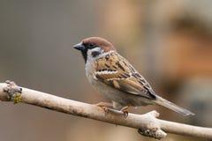 1 tree för sparrow för akamontanusförbipasserande Arkivbild