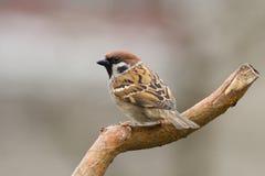 1 tree för sparrow för akamontanusförbipasserande Royaltyfri Bild