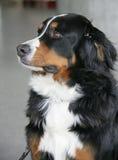 1 trevliga bernerhund Arkivfoto
