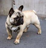1 trevliga bulldoggfransman Arkivbild