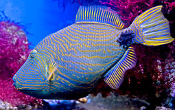 1 triggerfish Image stock