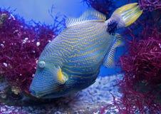 1 triggerfish böljer Royaltyfria Bilder