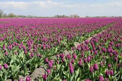 1 tuilp поля нидерландское пурпуровое Стоковое Изображение RF