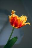 1 tulipan Zdjęcia Royalty Free