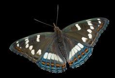 1 ussuriensis populi limenitis πεταλούδων Στοκ φωτογραφία με δικαίωμα ελεύθερης χρήσης