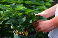 1 växthusarbetare Arkivfoto