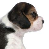 1 valp för tät månad för beagle gammala upp Arkivfoton