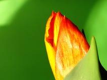 1 van de lente die uit komt Stock Foto
