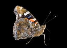 1 vanessa бабочки admiral indica Стоковые Изображения RF