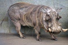 1 verrue de porc Photos libres de droits