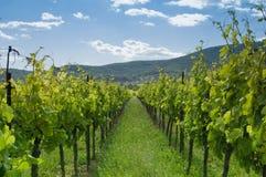 1 vingård Fotografering för Bildbyråer