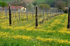 1 vitigno виноградника сельскохозяйствення угодье campagna Стоковая Фотография