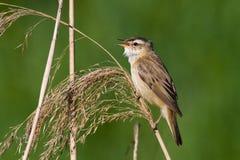 1 warbler осоки птицы Стоковая Фотография RF