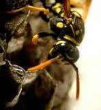 1 wasp Arkivbilder