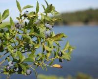 1 wild blåbär Arkivfoto