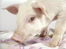 1 świnia Fotografia Royalty Free