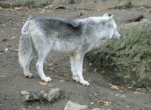 1 wolf Στοκ Φωτογραφίες