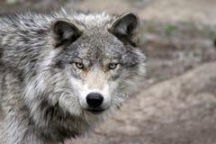 1 wolf Arkivbilder