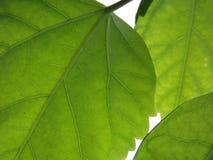 (1) zieleni liść Zdjęcia Stock