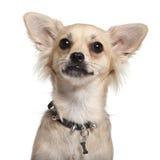10个奇瓦瓦狗接近的月 库存图片