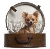 10个奇瓦瓦狗月来回开会 免版税库存图片
