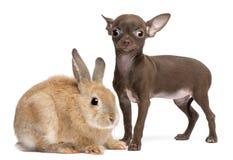 10个奇瓦瓦狗老小狗兔子星期 免版税图库摄影