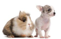 10个奇瓦瓦狗老小狗兔子星期 免版税库存图片