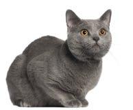 10个猫chartreux月 免版税库存照片