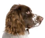 10个英国月西班牙猎狗蹦跳的人 免版税库存照片