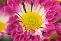10个菊花系列 免版税库存照片