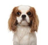 10个骑士查尔斯国王月西班牙猎狗 免版税库存照片