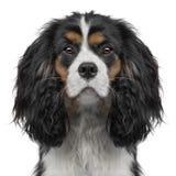 10个骑士查尔斯数字式e国王月小狗 图库摄影