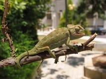 10变色蜥蜴 库存照片