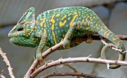 10变色蜥蜴 免版税图库摄影