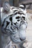 10只老虎白色 免版税图库摄影