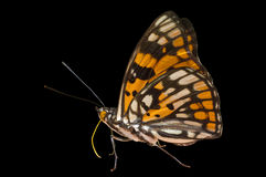 10只蝴蝶dichroa sephisa 图库摄影
