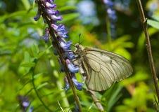 10只蝴蝶papilio stubbendorfi 库存照片