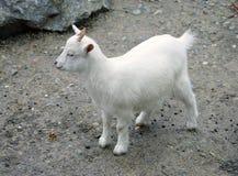 10山羊 免版税库存照片